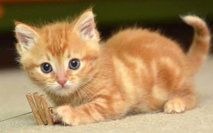 Cute kitten wallpaper ios mode - Cute kitten wallpaper free download ...